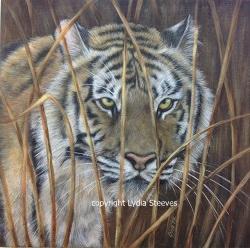 Tiger in the Grass (APC 2015) 250