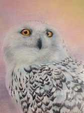 CPPD Snowy Owl Copyright 167 225